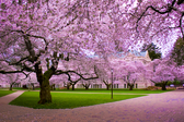 Hình ảnh hoa đào Nhật Bản